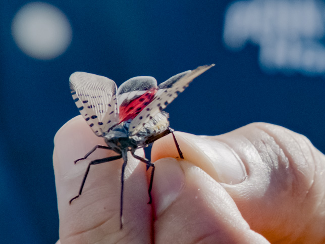 close-up of faculty member holding a spotted lanternfly